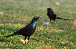 Starling et Shrike lustrés - bleu et pourpre Image libre de droits
