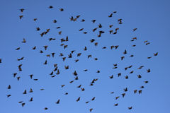 Starling européen Image libre de droits