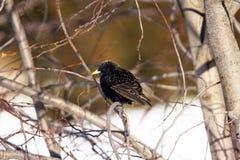 Starling européen Photographie stock