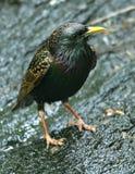 Starling europeo Imagen de archivo libre de regalías