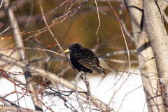Starling europeo Fotografia Stock