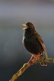 Starling europeo che canta Fotografie Stock Libere da Diritti