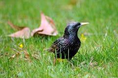 Starling europeo en hierba Foto de archivo