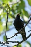 Starling europeu imagem de stock royalty free