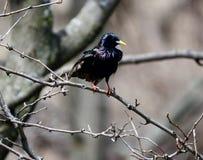 Starling europeu Imagens de Stock Royalty Free