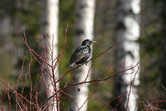Starling europeu Fotografia de Stock Royalty Free