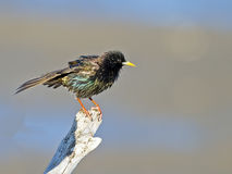 Starling europeu Fotografia de Stock Royalty Free
