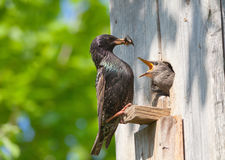 Starling feed his nestling Stock Image