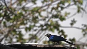 Starling at the feeder, adult taking off, in flight, Baringo Lake in Kenya,. Slow motion stock video footage
