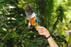 Starling Feeding Royalty Free Stock Photo