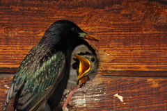 Starling Feeding Babies. A parent European Starling feeding its babies in their nest in California Stock Photography