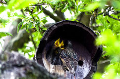 Starling feeding their young Royalty Free Stock Photos