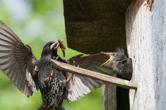 Starling feeds her chick Stock Photos