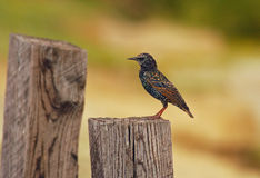 Starling on a fence post Stock Photography