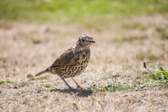 Starling Fledgling. Royalty Free Stock Photos