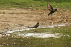 Starling flies from the surface of the lake Stock Photo