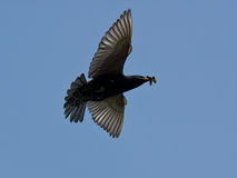 Starling in flight Royalty Free Stock Image