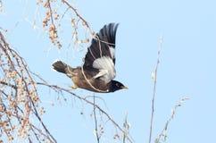 Starling in flight Stock Photos