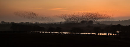 Starlings Stock Image