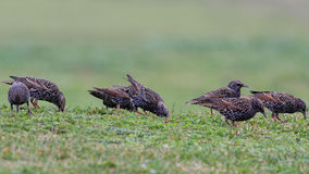 Starling flock looking for food in the grass Royalty Free Stock Images