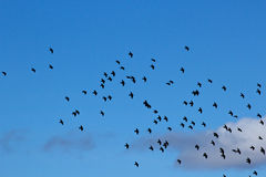 Starling Flock In The Sky. A flock of Starling birds (Sturnus vulgaris) flying in a bright blue sky with clouds stock photography