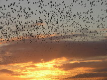 Starling formation Royalty Free Stock Photos