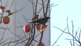 Starling and frozen quince over the grave of Vanga in Rupite, Bulgaria stock footage