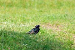 Starling in the grass on a glade on a sunny spring day stock photo