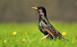 Starling in the grass. Starling in the green grass in the summer Royalty Free Stock Photos