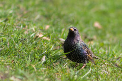 Starling in the grass Royalty Free Stock Images