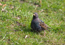 Starling in the grass Stock Images