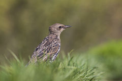 Starling in the grass Royalty Free Stock Photography
