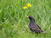 Starling in groen gras Stock Foto's