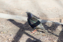 Starling on the ground closeup Royalty Free Stock Images