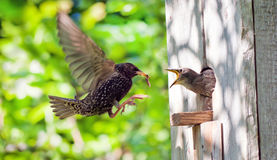 Starling and his nestling. This is starling and his nestling stock images