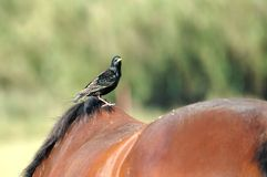 Starling on a horse. Starling on on the back of a horse Stock Photo