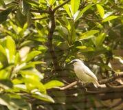 Starling-2795 indonesiano Immagine Stock Libera da Diritti