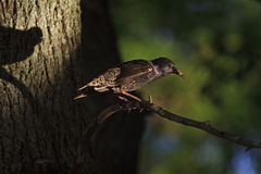 Starling insect in its beak and shadow Royalty Free Stock Photography