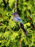 Starling Jay Stock Images