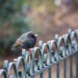 Starling, jeugdmannetje Stock Foto's