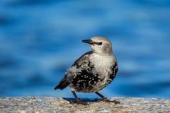 Starling juvénile Photos libres de droits