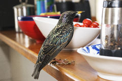 Starling in the Kitchen. European Starling perched on a kitchen counter in front of a bowl of red tomatoes. This bird actually flew into my oven's exhaust vent Stock Photography