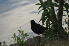 starling stockfoto
