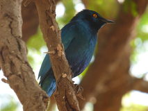 Starling at kruger Stock Images