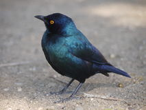 Starling. In Kruger National Park, South Africa Stock Photography