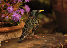Starling on log stock photos