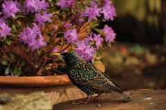 Starling on log looking at flowers royalty free stock image
