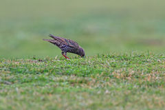 Starling looking for food in the grass Royalty Free Stock Photography