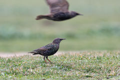 Starling looking for food in the grass Royalty Free Stock Photos