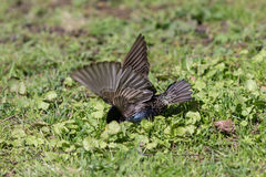 Starling looking for insects. Starling on green grass looking for insects Royalty Free Stock Image
